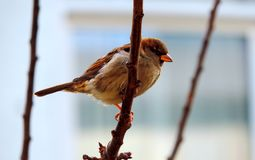 Sparrow on a branch. Brown bird, sparrow, resting on a branch. High in a tree. Nature in Amsterdam, Holland. Common animal in backyards Royalty Free Stock Images