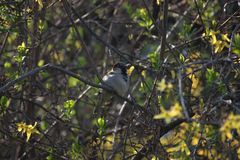 Sparrow on a branch in Bush. Yang leaves on the branches. Sunny bird. royalty free stock images