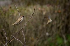 Sparrow on branch of bushes with blurred background.  Royalty Free Stock Photo
