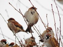 Sparrow on a branch. City winter park, snow, cold royalty free stock photo