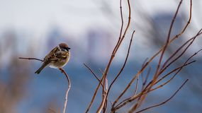 Sparrow on a branch close up in winter stock photo
