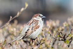 Sparrow on a branch closeup. Portrait of a sparrow on a branch closeup Royalty Free Stock Photo