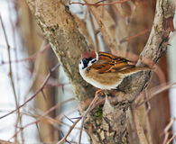 Sparrow on branch Royalty Free Stock Photos