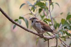 A sparrow on a branch, cracking cores royalty free stock image