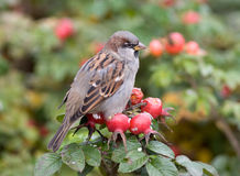 Sparrow on a branch of dogrose. Portrait of a sparrow on a branch of a ripe dogrose Royalty Free Stock Photo