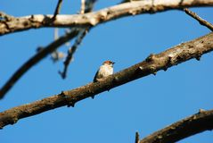 Sparrow on a branch in the early morning royalty free stock photos