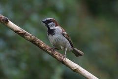 Sparrow on Branch. Facing left Stock Photos