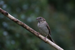 Sparrow on Branch facing Left. House Sparrow on Branch facing Left Royalty Free Stock Photos