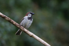 Sparrow on Branch. Facing right Stock Images