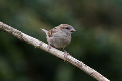 Sparrow on Branch. Facing right Royalty Free Stock Images