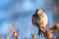 Sparrow on a branch. Sparrow feathers fluffed up to keep warm in the winter on a branch Stock Photos