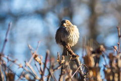 Sparrow on a branch. Sparrow feathers fluffed up to keep warm in the winter on a branch Royalty Free Stock Photography