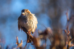 Sparrow on a branch. Sparrow feathers fluffed up to keep warm in the winter on a branch Royalty Free Stock Photos