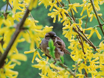 Sparrow. On a branch of a flowering bush Royalty Free Stock Image