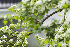 Sparrow on a branch of flowering hawthorn. Sparrow on a branch of the flowering hawthorn Royalty Free Stock Photography