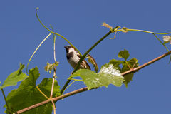 Sparrow on a branch. Of grapes on a background of blue sky Stock Photography