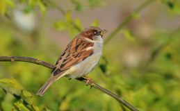 Sparrow on a Branch Stock Image