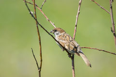 Sparrow on a branch. On a green background, Russia, village, summer Stock Photo