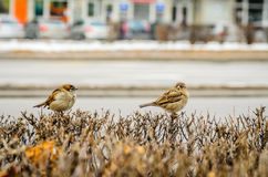 Sparrow on a branch. Hungry sparrow on the first snow Royalty Free Stock Photos