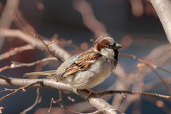 Sparrow on a branch. Portrait of a sparrow on a branch Royalty Free Stock Photo