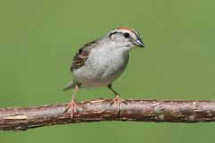 Sparrow On A Branch Singing. Chipping Sparrow (Spizella passerina) on a branch with a green background stock photos