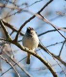 Sparrow on a branch Stock Photos
