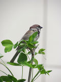 Sparrow on a branch Royalty Free Stock Photos