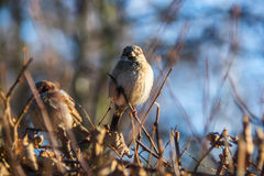 Sparrow on a branch. Sparrow sitting on a branch of a bush in winter Stock Photo