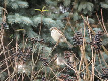 Sparrow on a branch Stock Photography