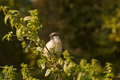 Sparrow on a branch Stock Images