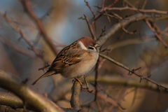 Sparrow on a branch. Stock Image