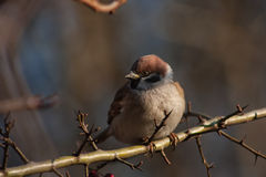 Sparrow on a branch. Royalty Free Stock Image