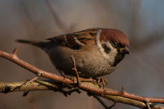 Sparrow on a branch. Royalty Free Stock Photography