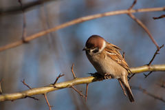 Sparrow on a branch. Royalty Free Stock Photo
