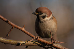 Sparrow on a branch. Sparrow sitting on a branch, winter day. Waiting for dinner Stock Photography
