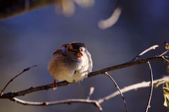 Sparrow on a branch. Small sparrow on a branch Stock Images