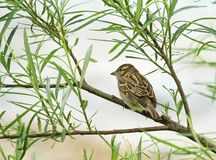 Sparrow on a branch Royalty Free Stock Photo