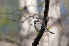 Sparrow on a branch. With spring buds Stock Photos