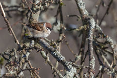 Sparrow on a branch. Royalty Free Stock Images