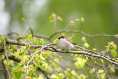 Sparrow on a branch. Spring Royalty Free Stock Image