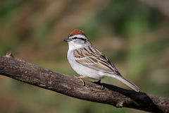 Sparrow On A Branch In Spring. Chipping Sparrow (Spizella passerina) on a branch in spring stock photography