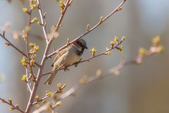 Sparrow in spring. Sparrow on a branch with spring buds Royalty Free Stock Photos