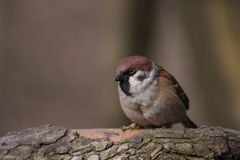Sparrow on a branch. Spring in the early morning in the forest sparrow on a branch Stock Images