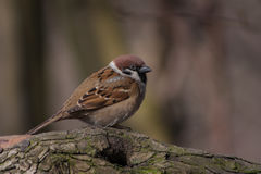Sparrow on a branch. Spring in the early morning in the forest sparrow on a branch Stock Photos