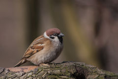 Sparrow on a branch. Spring in the early morning in the forest sparrow on a branch Royalty Free Stock Photo