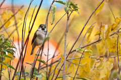 Sparrow on branch, Stock Image