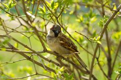 Sparrow on a branch tree nature spring summer. Blurred background Stock Photo
