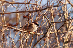 Sparrow on branch. Tree sparrow, passer montanus Stock Photo
