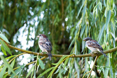 Sparrow on a branch. Two sparrow sitting on a branch of a willow by the pond Stock Photos
