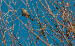 Sparrow on a branch in winter Royalty Free Stock Photos